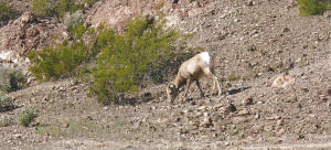 Mountain Goats and other wildlife are viewable from Copper Mountain RV Park in Tacna AZ